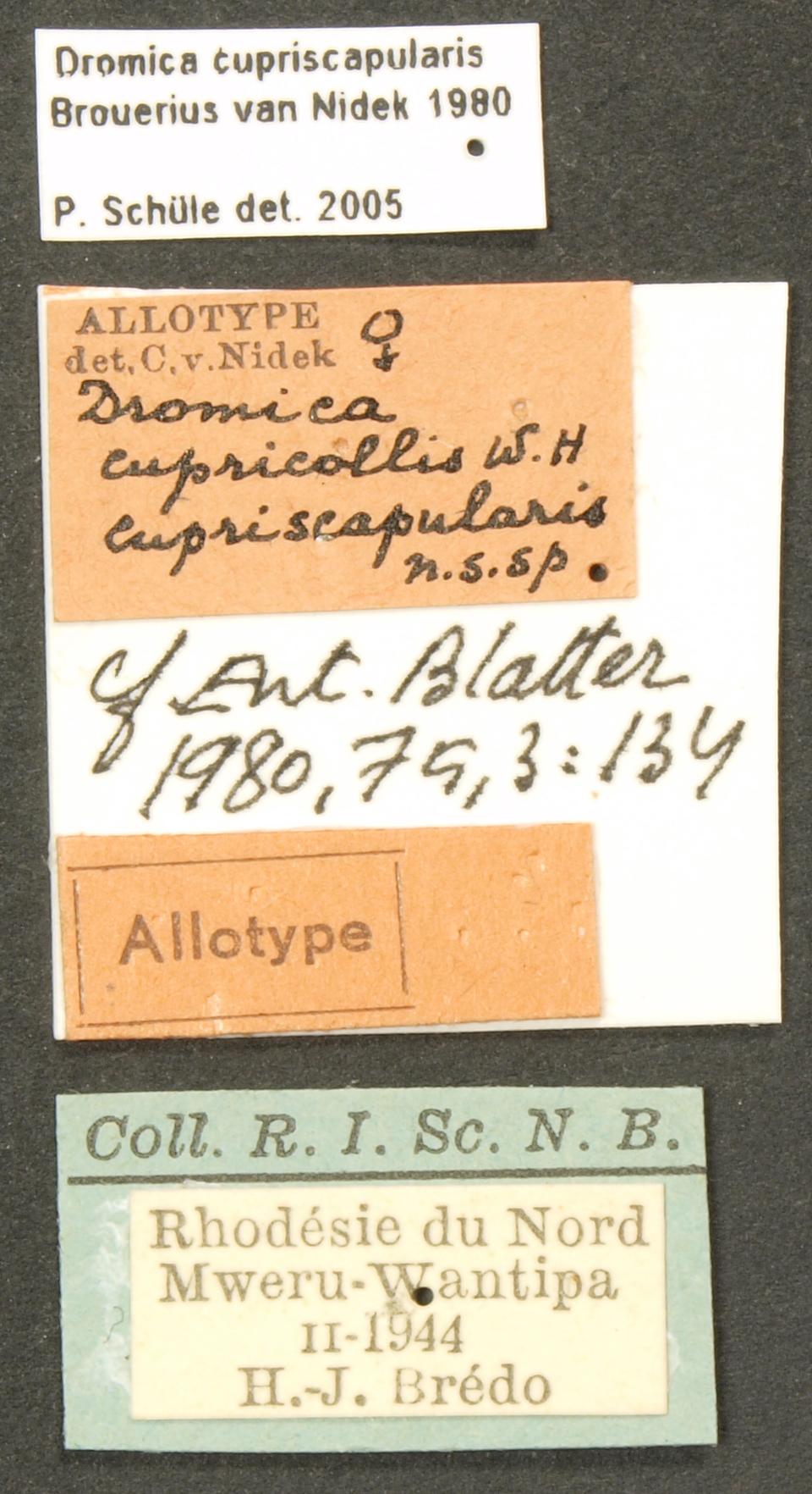 Dromica (Dromica) cupricollis cupriscapularis alt LB.JPG
