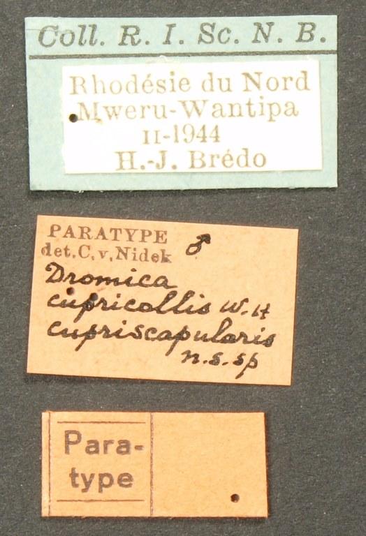 Dromica (Dromica) cupricollis cupriscapularis pt Lb.JPG