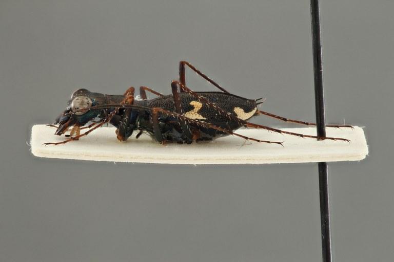 Dromica (Dromica) termitophila pt L ZS PMax.jpg