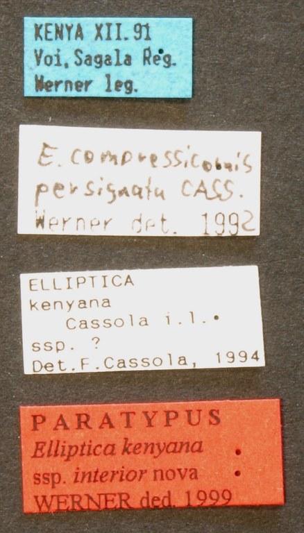 Elliptica kenyana interior pt LB.JPG