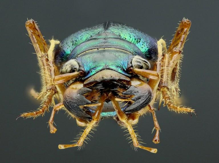Megacephala (Grammognatha) euphratica 44220zs68.jpg