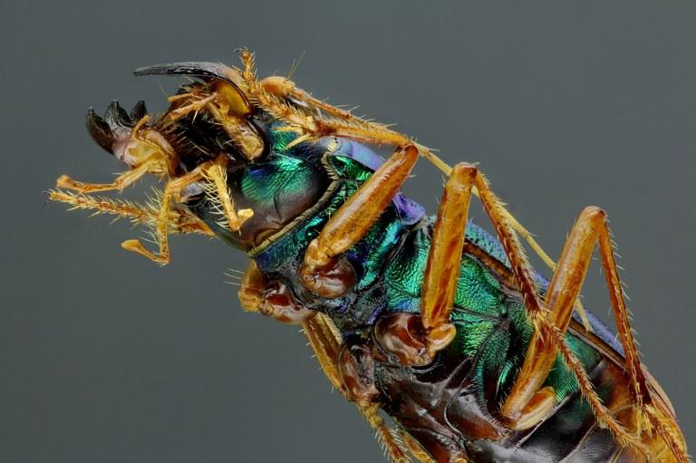 Megacephala (Grammognatha) euphratica 44169zs19.jpg