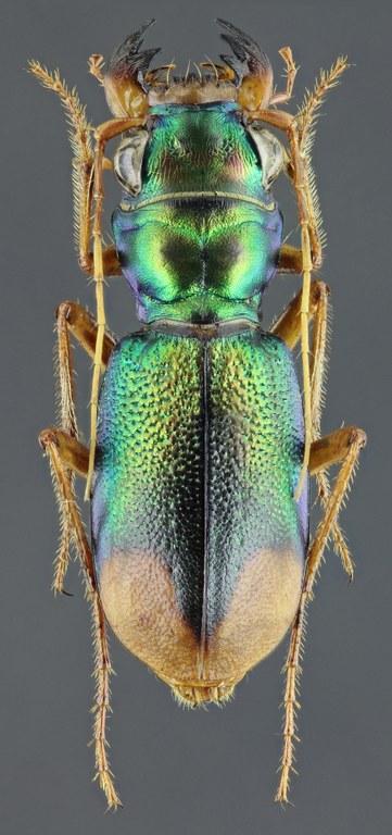 Megacephala (Grammognatha) euphratica 44354zs77.jpg