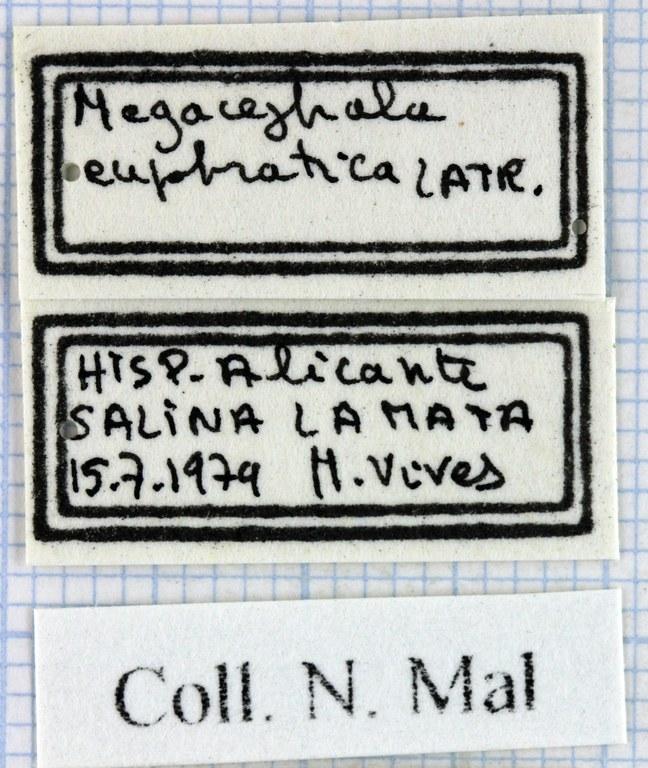 Megacephala (Grammognatha) euphratica 44411.jpg