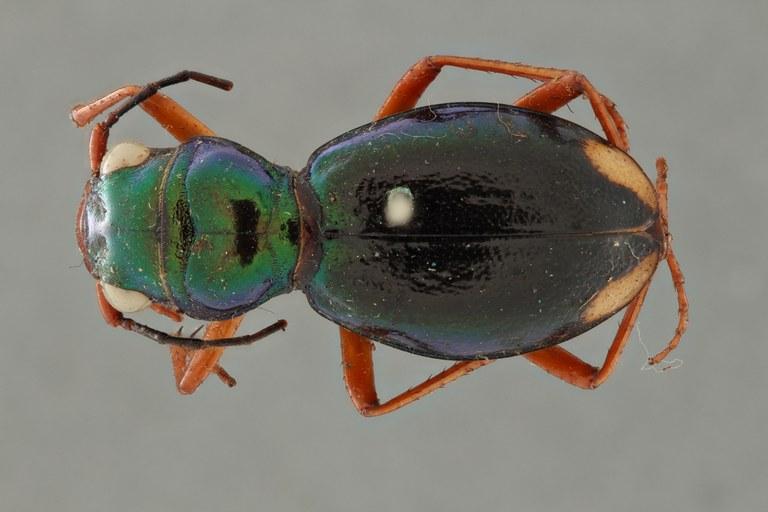Megacephala (Megacephala) bocandei clermonti pt D ZS PMax.jpg