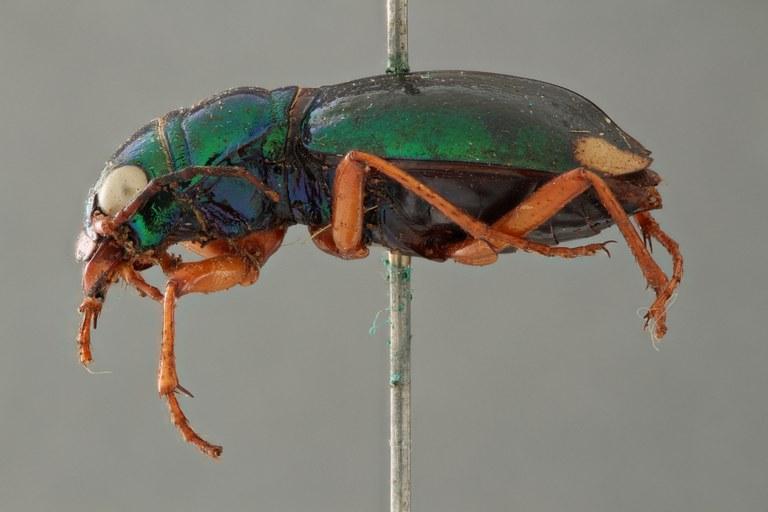 Megacephala (Megacephala) bocandei clermonti pt L ZS PMax.jpg
