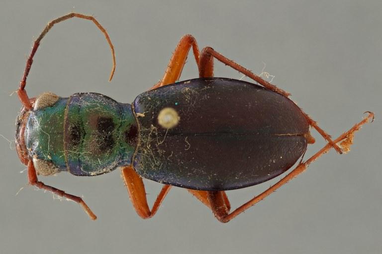 Megacephala (Megacephala) bocandei lemoulti pt D ZS PMax.jpg