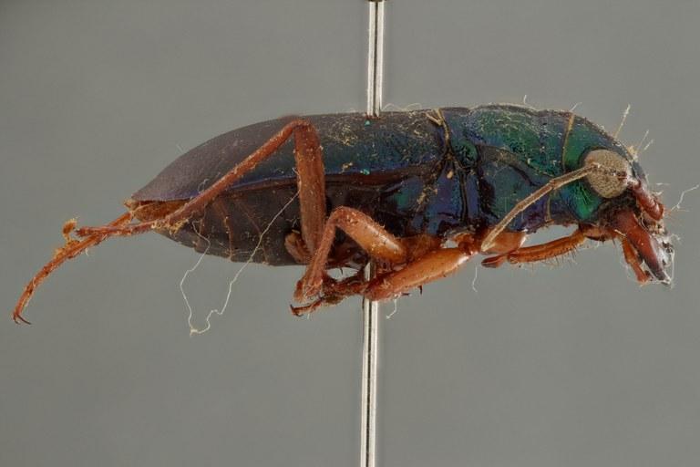 Megacephala (Megacephala) bocandei lemoulti pt L ZS PMax.jpg