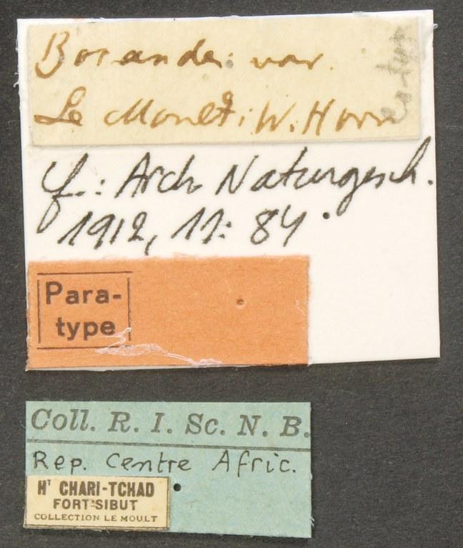 Megacephala (Megacephala) bocandei lemoulti pt LB.JPG