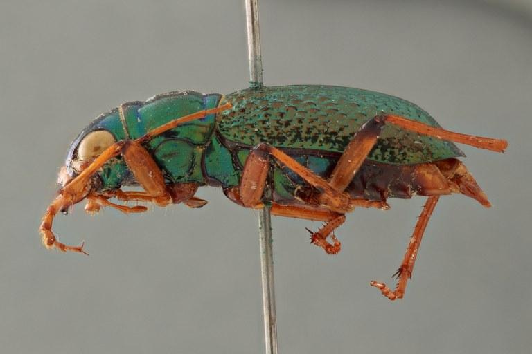 Megacephala (Megacephala) regalis katangana pt L ZS PMax.jpg