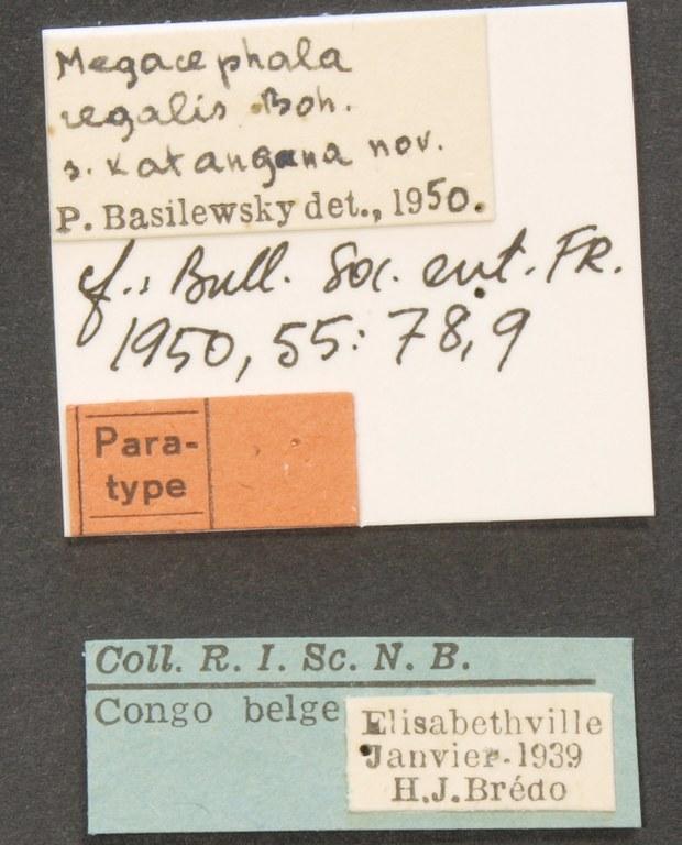 Megacephala (Megacephala) regalis katangana pt LB.JPG