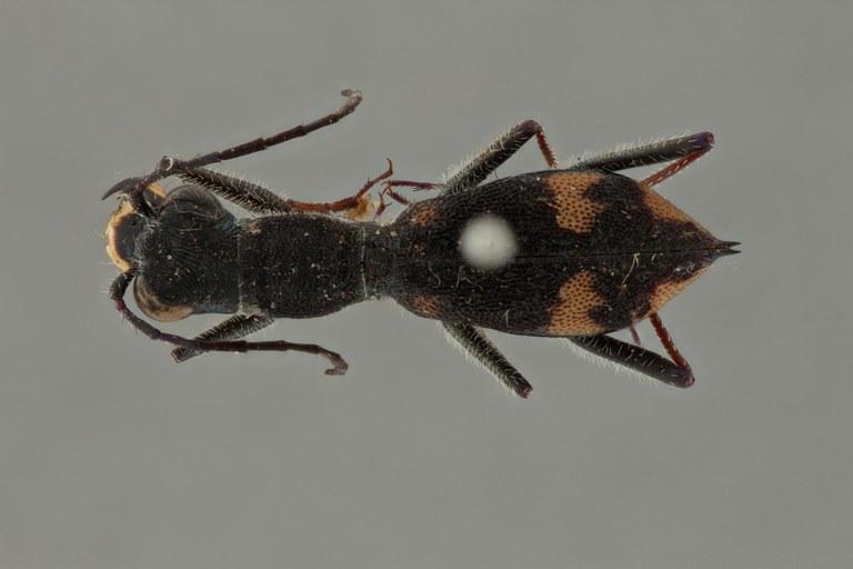 Myrmecoptera proepipleuralis pt D ZS PMax.jpg