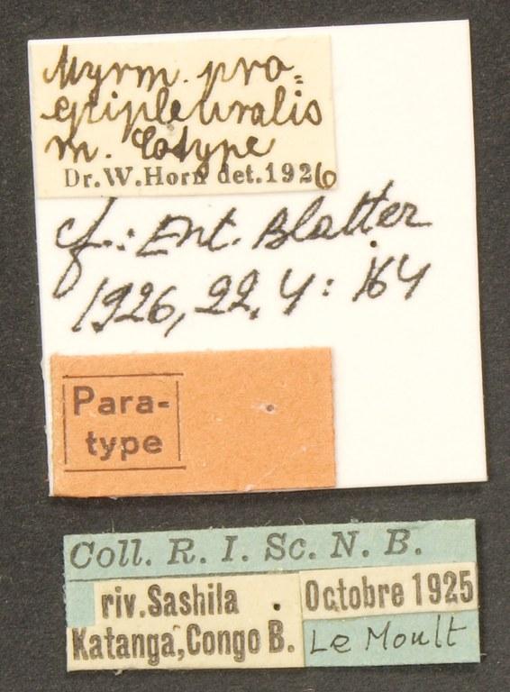 Myrmecoptera proepipleuralis pt LB.JPG
