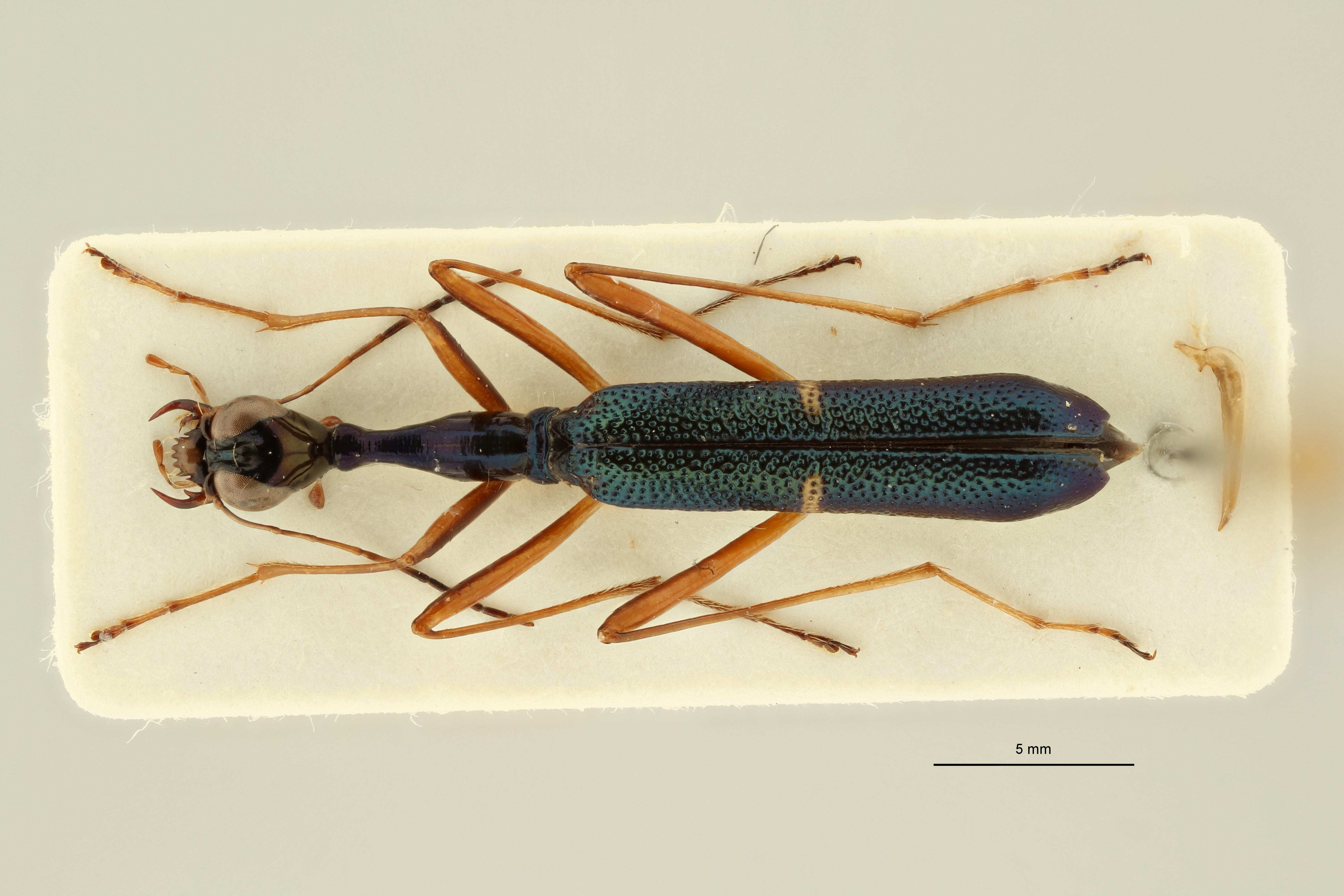 Neocollyris (Leptocollyris) linearis aspera pt D ZS PMax Scaled.jpeg