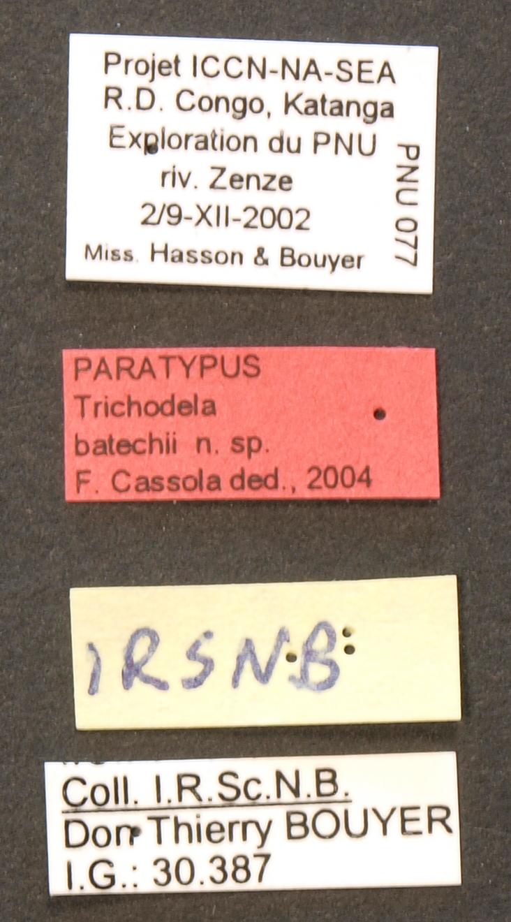 Trichodela batechii pt LB.JPG