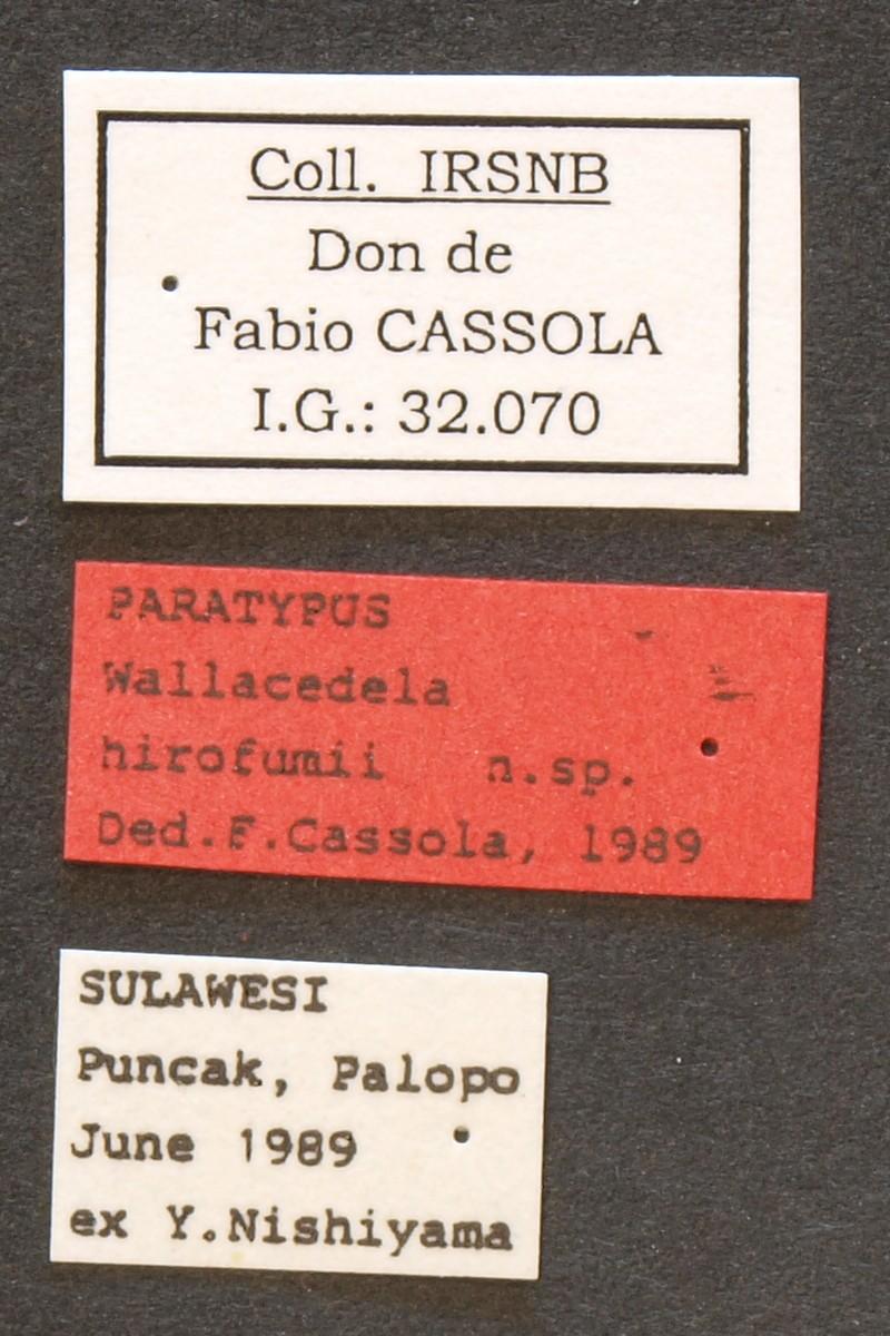 Wallacedela hirofumii pt Lb.JPG