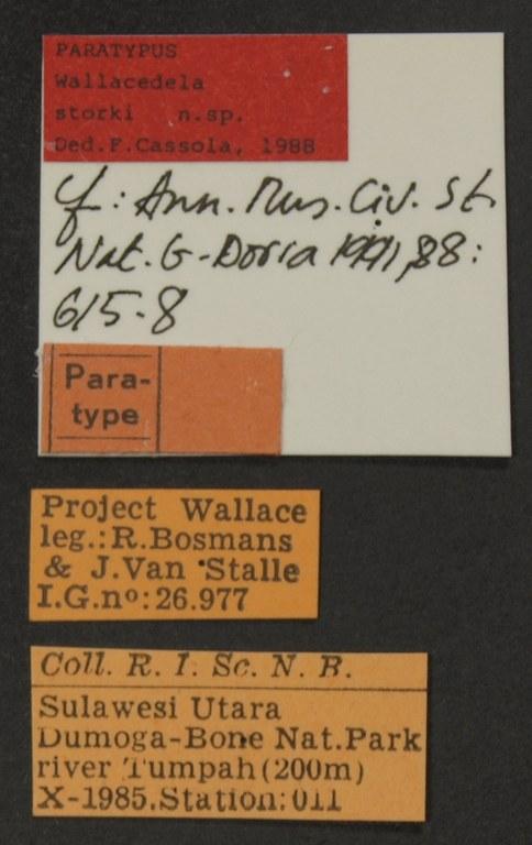 Wallacedela storki pt LB.JPG