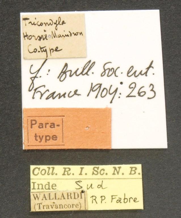 Tricondyla horni pt LB.JPG