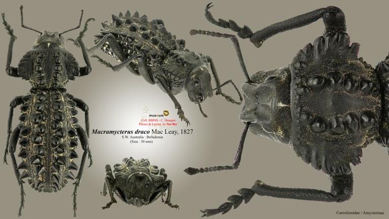 Macramycterus draco.jpg