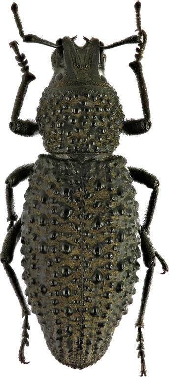 Sclerorinus verrucosus Eos  16.jpg