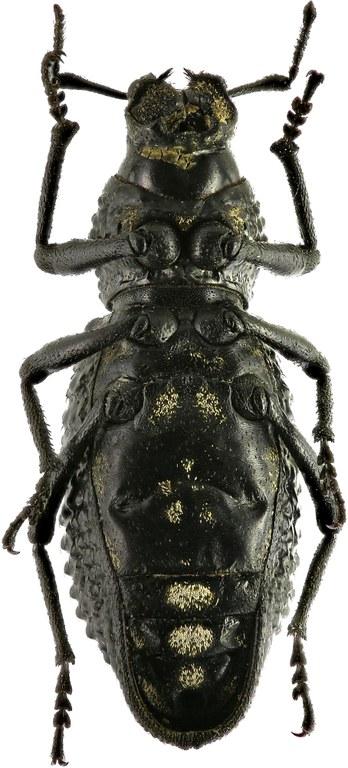 Sclerorinus verrucosus Eos  17.jpg