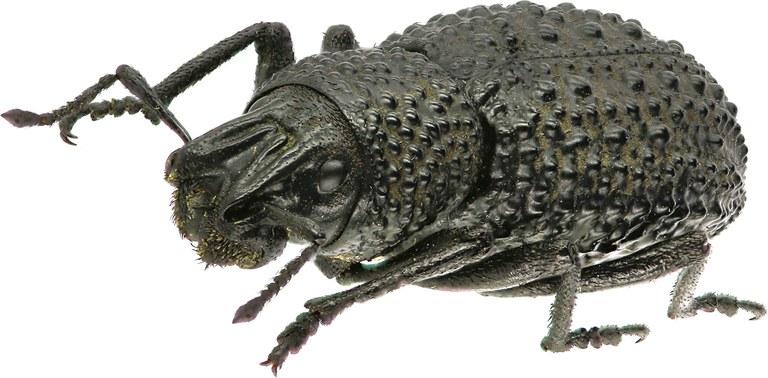 Sclerorinus verrucosus Eos    18.jpg