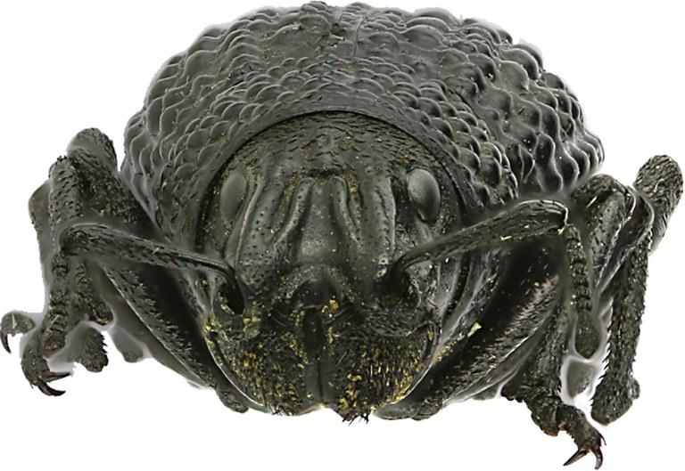 Sclerorinus verrucosus Eos9.jpg