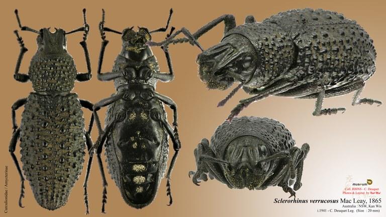 Sclerorinus verrucosus.jpg
