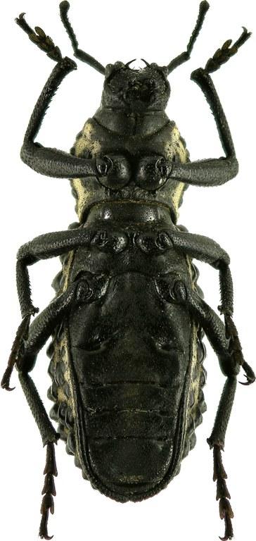 Talaurinus fergusoni Eos  25.jpg