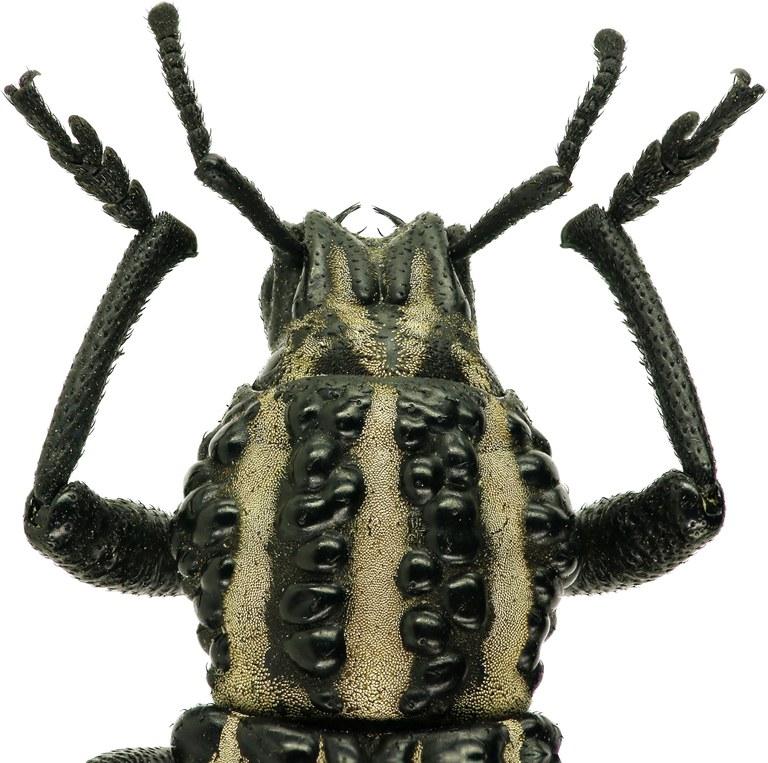 Talaurinus fergusoni Eos  27.jpg