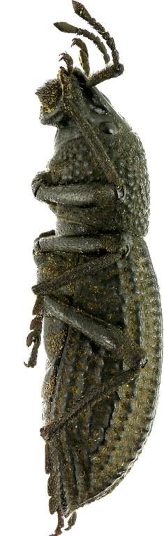 Talaurinus kirbyi Eos  29.jpg