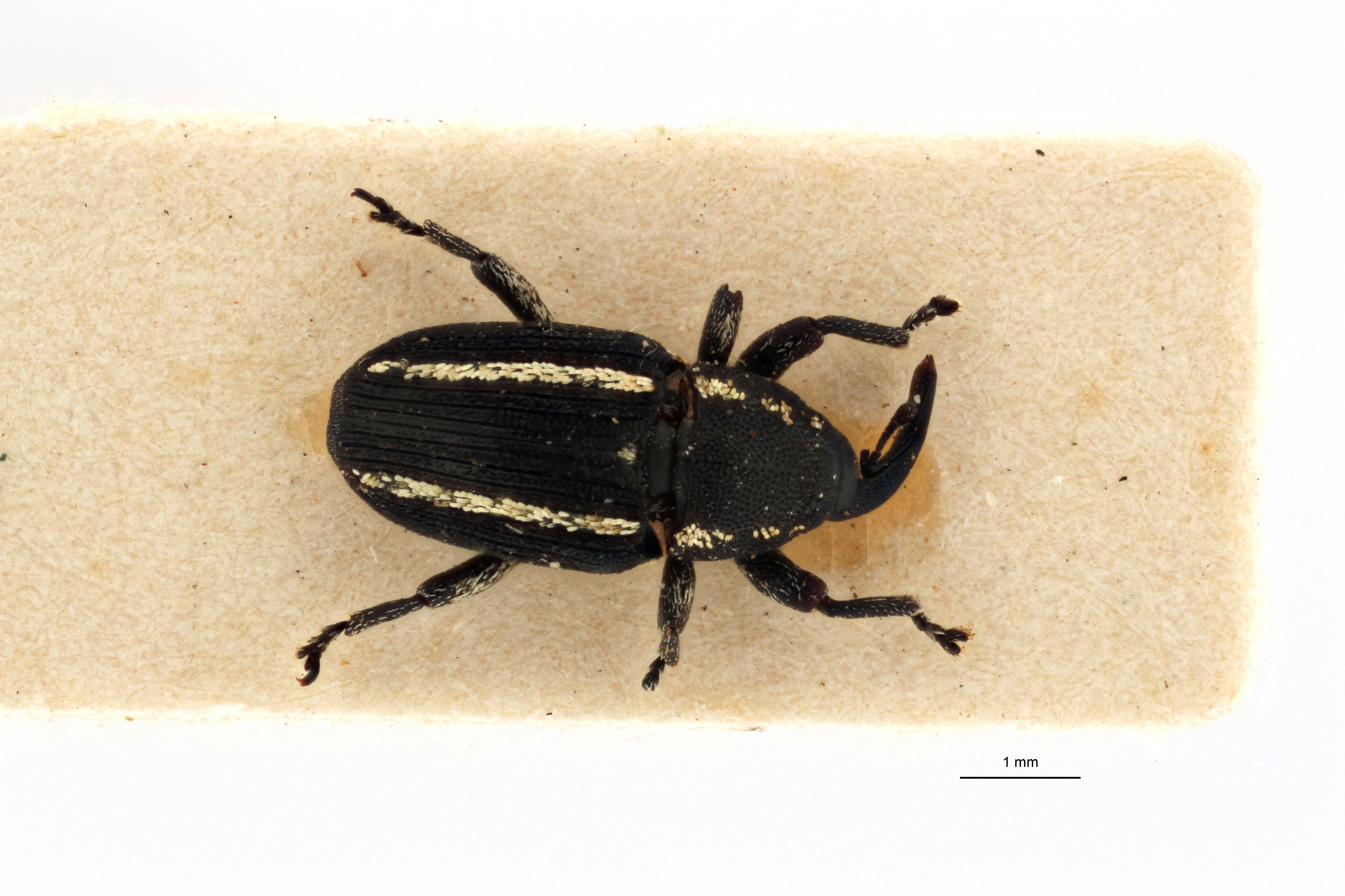 Acythopeus bifrenatus pt D.jpg