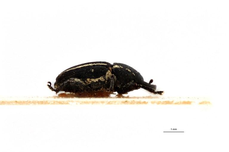 Acythopeus bifrenatus pt L.jpg