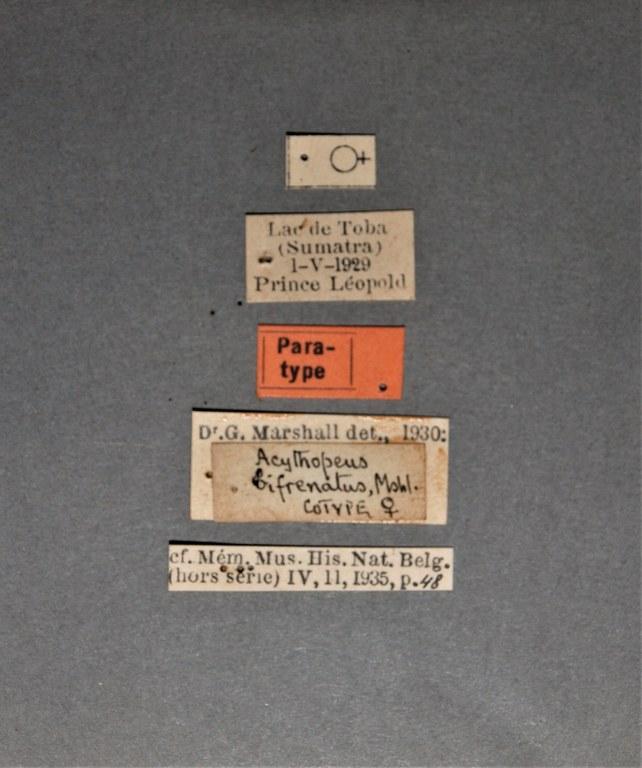 Acythopeus bifrenatus pt.JPG
