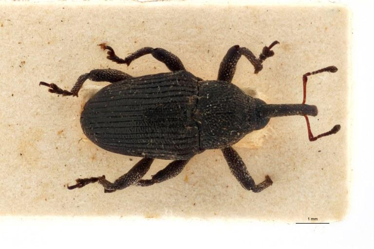 Acythopeus pectoralis pt D.jpg