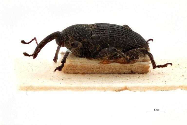 Acythopeus pectoralis pt L.jpg