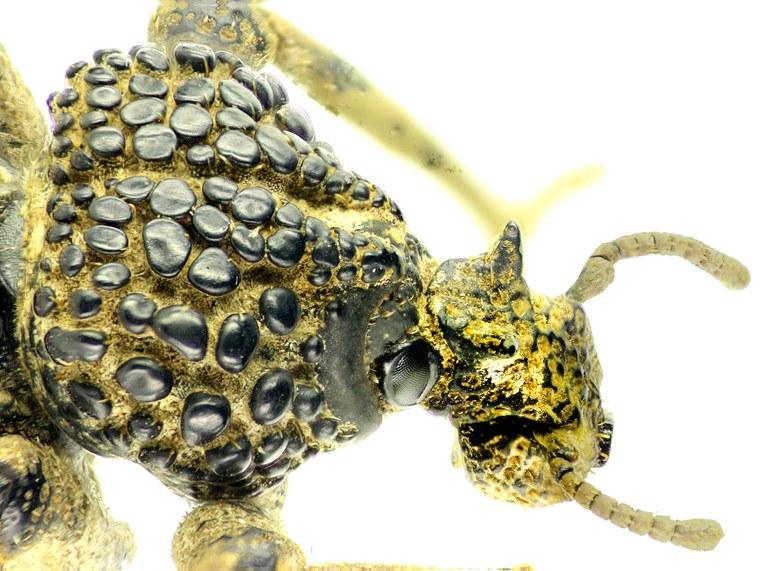 Brachycerus albarius EOS 70D 2113cz34.jpg