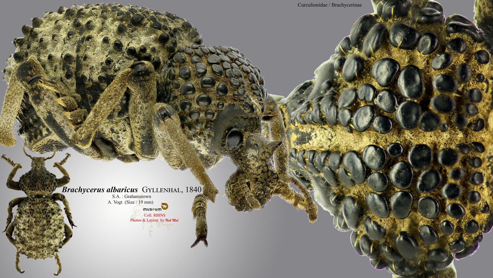 Brachycerus albarius.jpg