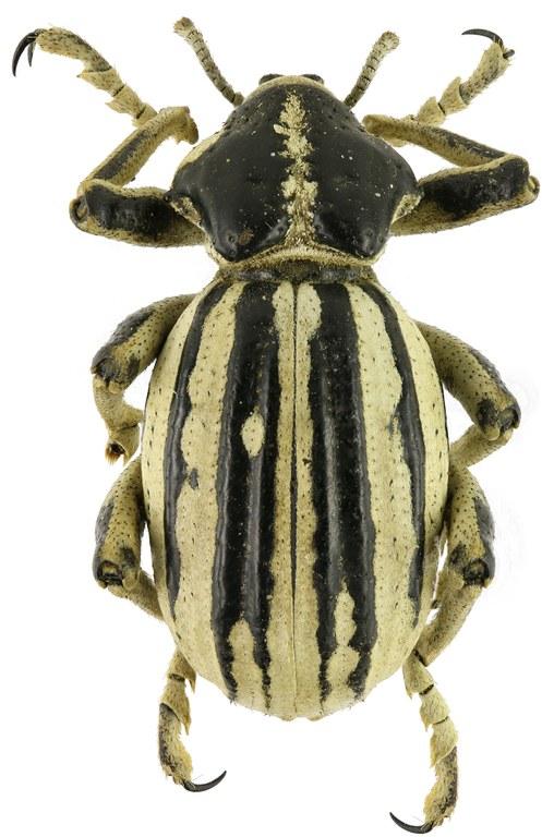 Brachycerus albotectus Eos 2044cz59.jpg