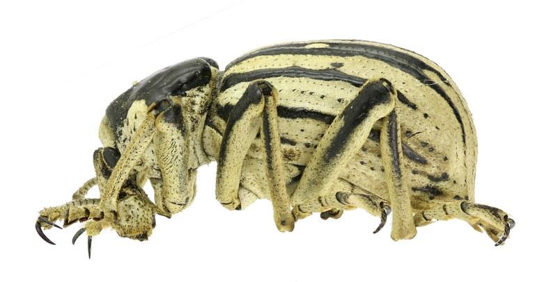 Brachycerus albotectus Eos 2060cz77.jpg