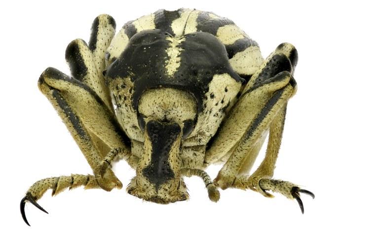 Brachycerus albotectus Eos 2078ZS04Pmax.jpg