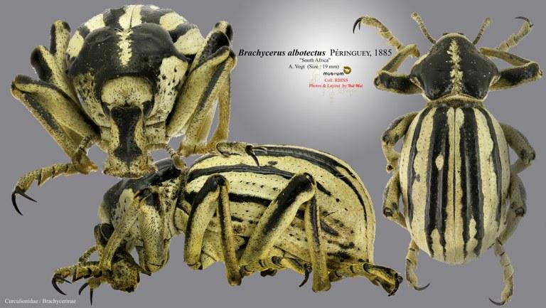 Brachycerus albotectus.jpg