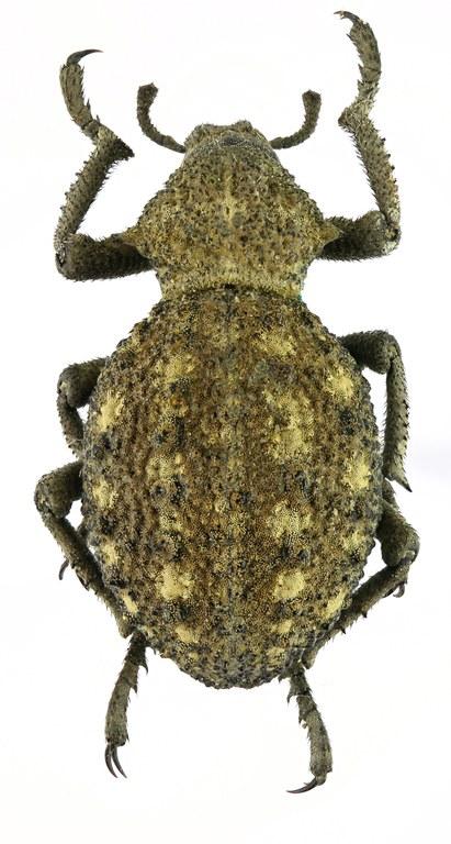 Brachycerus brevicostatus Eos 2139cz50.jpg