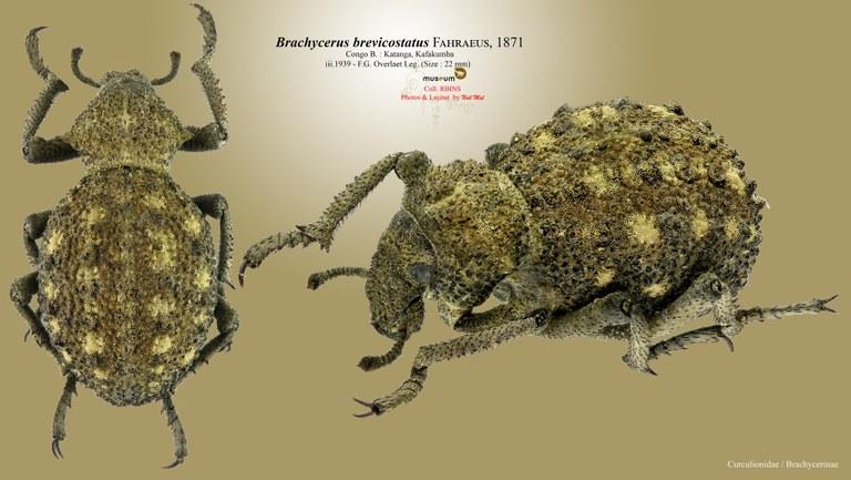 Brachycerus brevicostatus pl.jpg