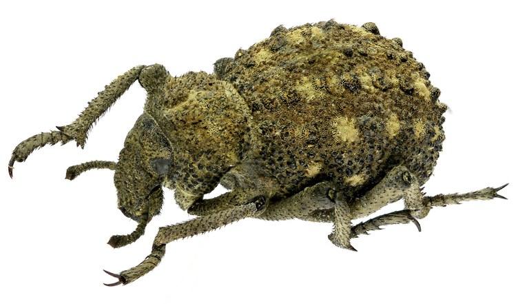 Brachycerus brevicostatus.jpg
