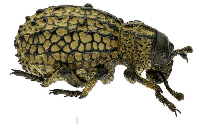 Brachycerus cancellatus Eos 2190cz00.jpg