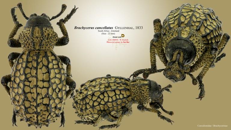Brachycerus cancellatus.jpg