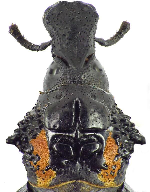Brachycerus granosus 31953cz60.jpg