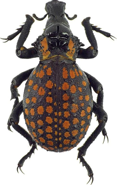 Brachycerus granosus 31961cz66.jpg