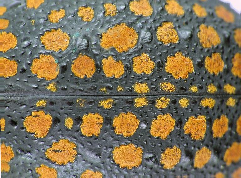 Brachycerus granosus 31967cz71.jpg
